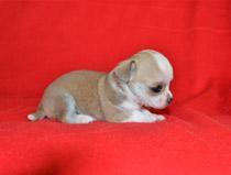 Chihuahua mini toy a pelo corto